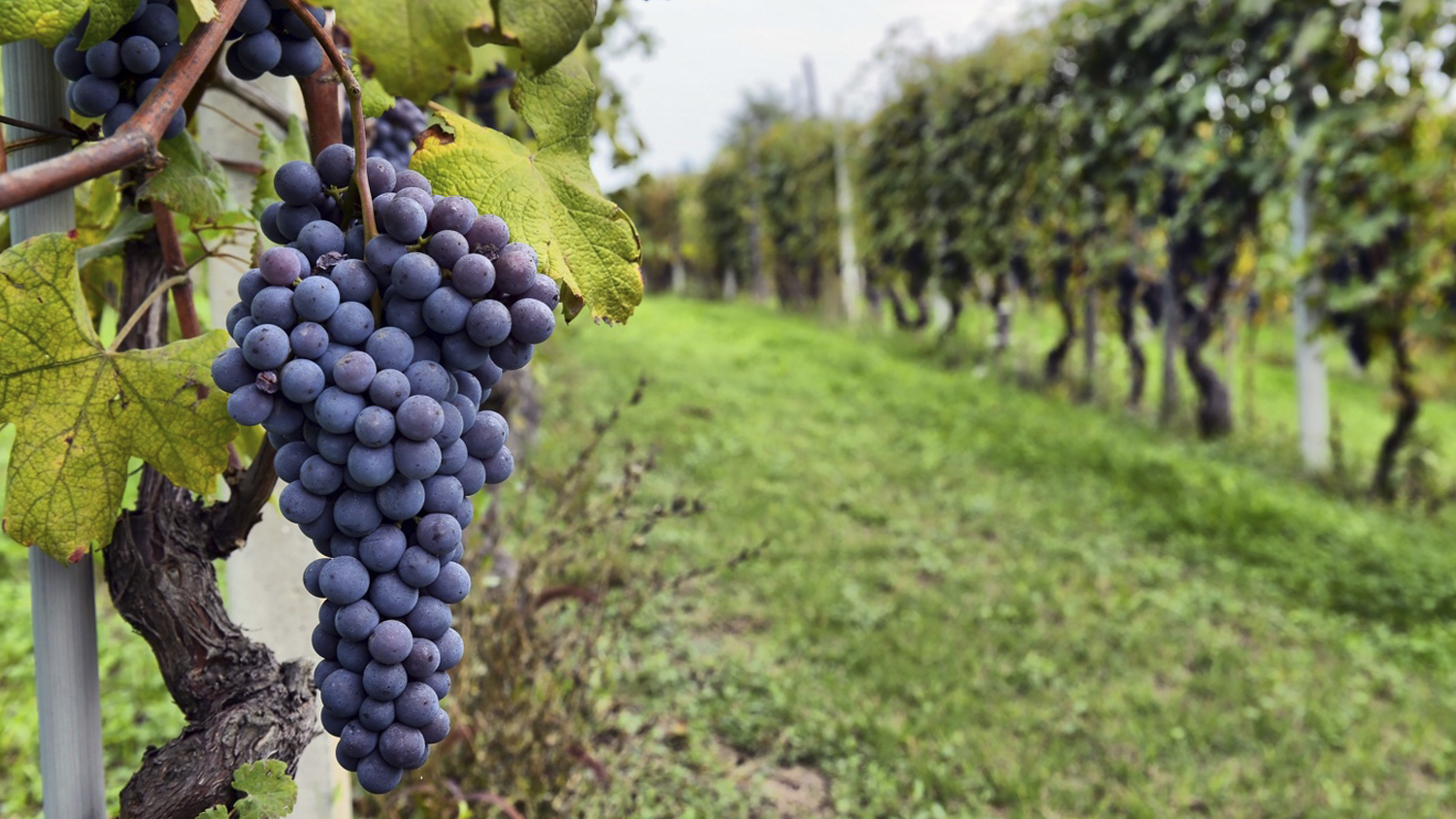 Does Your Vineyard or Winery Qualify for R&D Tax Credits?